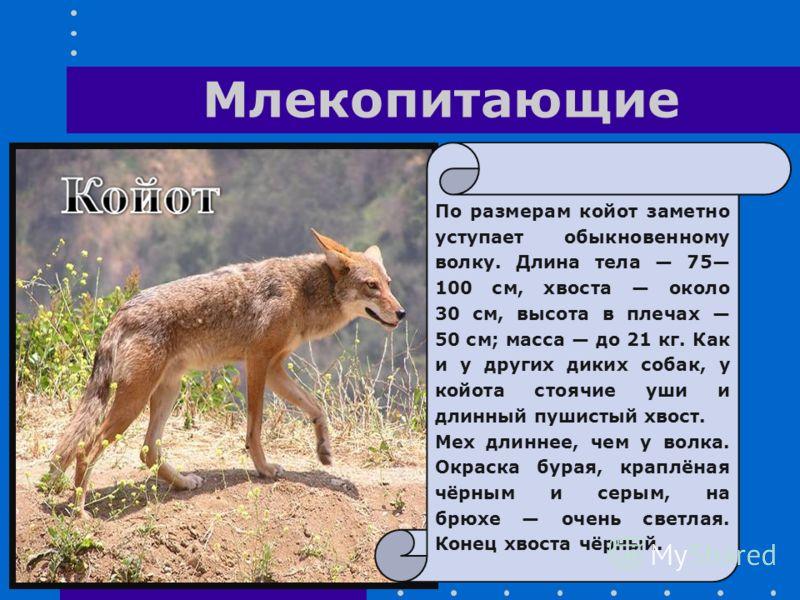 По размерам койот заметно уступает обыкновенному волку. Длина тела 75 100 см, хвоста около 30 см, высота в плечах 50 см; масса до 21 кг. Как и у других диких собак, у койота стоячие уши и длинный пушистый хвост. Мех длиннее, чем у волка. Окраска бура