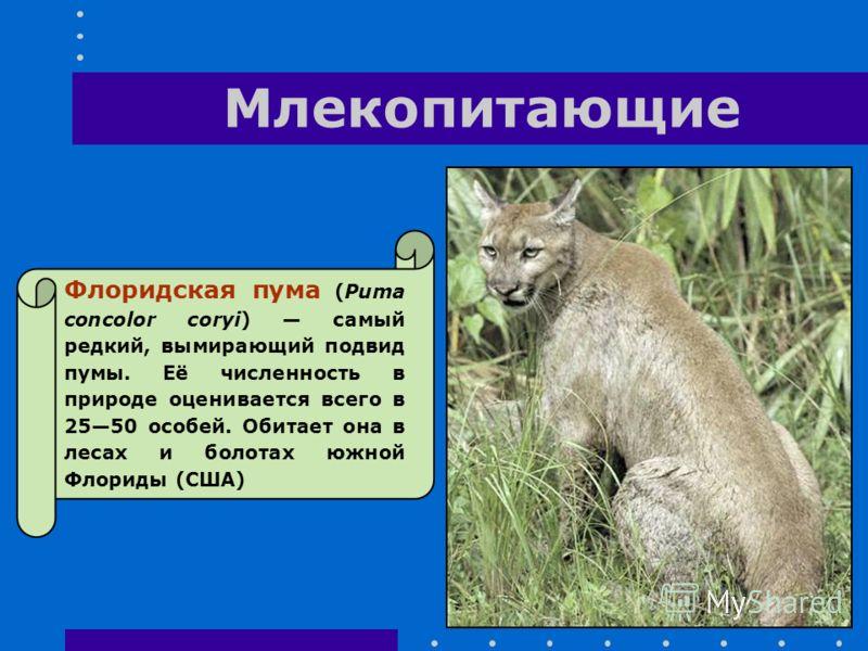 Млекопитающие Флоридская пума (Puma concolor coryi) самый редкий, вымирающий подвид пумы. Её численность в природе оценивается всего в 2550 особей. Обитает она в лесах и болотах южной Флориды (США)