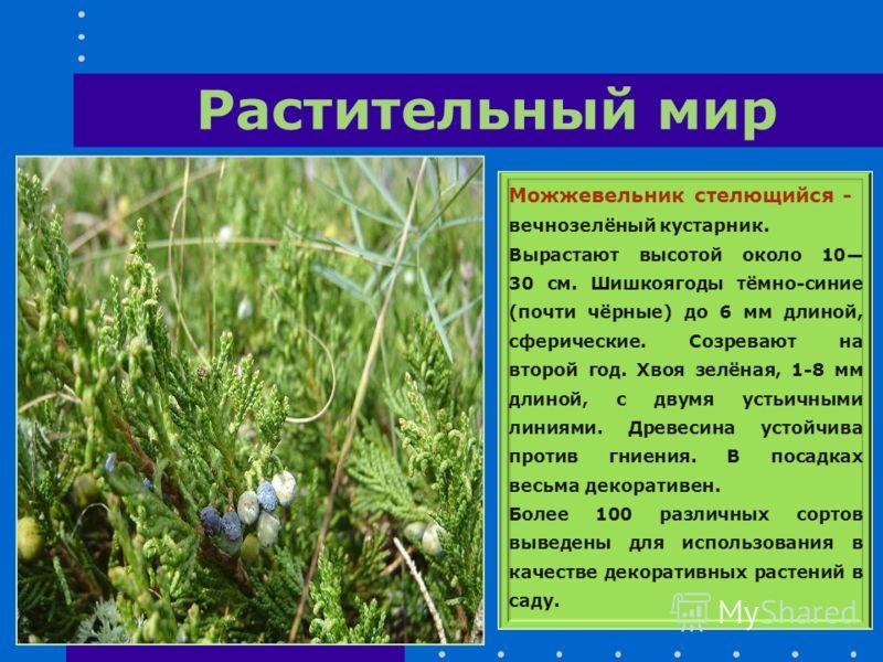 Растительный мир Можжевельник стелющийся - вечнозелёный кустарник. Вырастают высотой около 10 30 см. Шишкоягоды тёмно-синие (почти чёрные) до 6 мм длиной, сферические. Созревают на второй год. Хвоя зелёная, 1-8 мм длиной, с двумя устьичными линиями.
