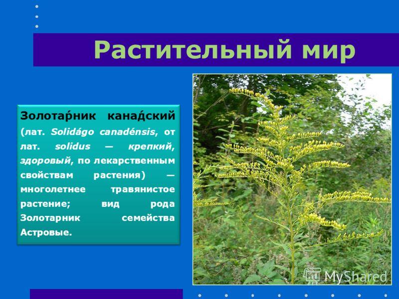 Растительный мир Золота́рник кана́дский (лат. Solidágo canadénsis, от лат. solidus крепкий, здоровый, по лекарственным свойствам растения) многолетнее травянистое растение; вид рода Золотарник семейства Астровые.