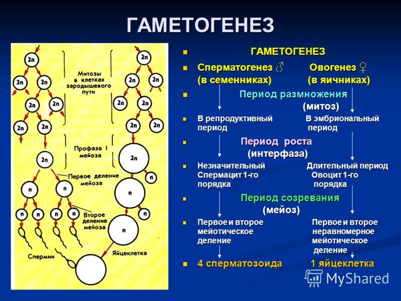 ГАМЕТОГЕНЕЗ ГАМЕТОГЕНЕЗ Сперматогенез Овогенез (в семенниках) (в яичниках) Период размножения (митоз) В репродуктивный В эмбриональный период период Период роста (интерфаза) Незначительный Длительный период Спермацит 1-го Овоцит 1-го порядка порядка