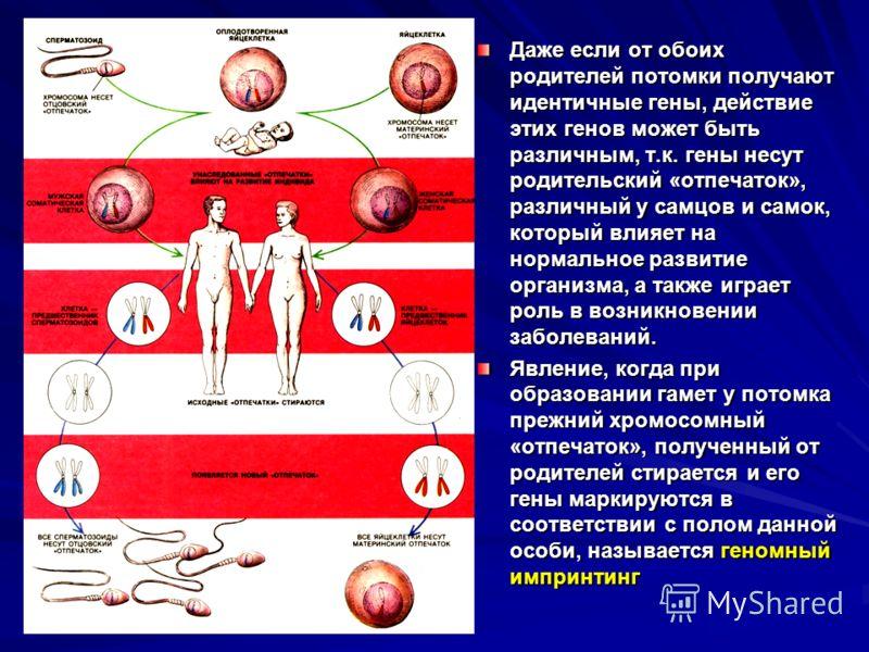 Даже если от обоих родителей потомки получают идентичные гены, действие этих генов может быть различным, т.к. гены несут родительский «отпечаток», различный у самцов и самок, который влияет на нормальное развитие организма, а также играет роль в возн