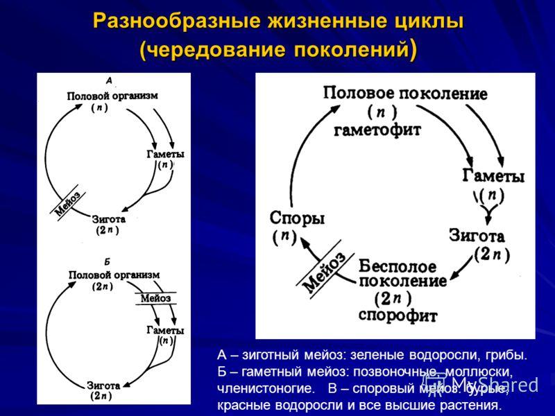 Разнообразные жизненные циклы (чередование поколений ) А – зиготный мейоз: зеленые водоросли, грибы. Б – гаметный мейоз: позвоночные, моллюски, членистоногие. В – споровый мейоз: бурые, красные водоросли и все высшие растения.