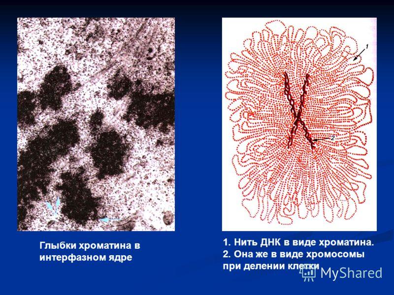 Глыбки хроматина в интерфазном ядре 1. Нить ДНК в виде хроматина. 2. Она же в виде хромосомы при делении клетки