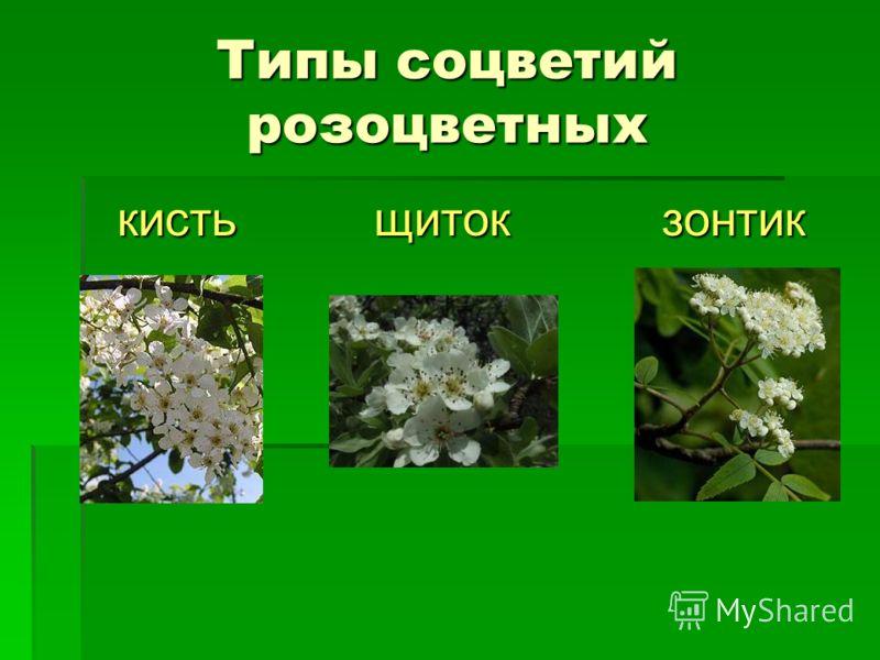 Типы соцветий розоцветных кисть щиток зонтик кисть щиток зонтик
