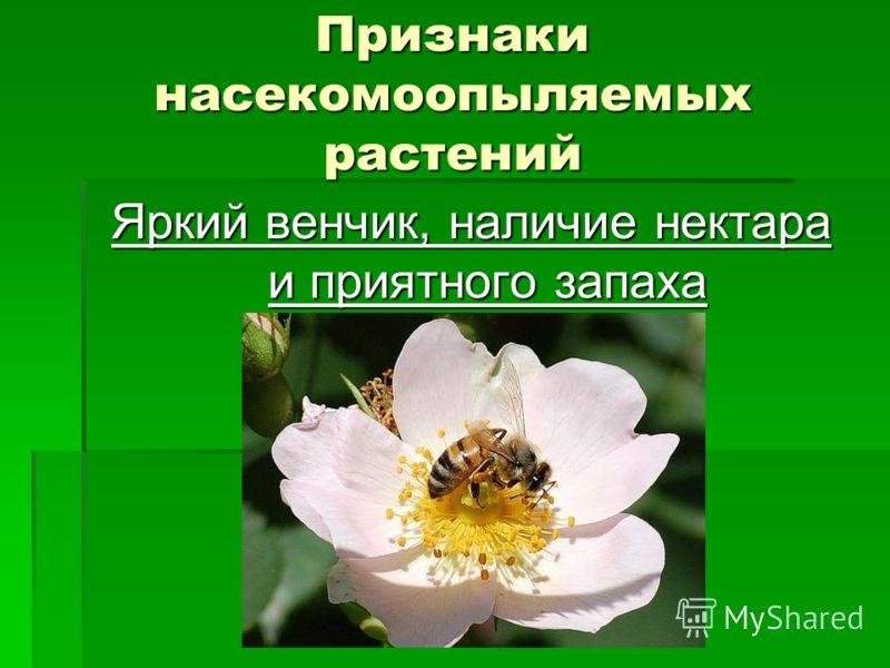Признаки насекомоопыляемых растений Яркий венчик, наличие нектара и приятного запаха