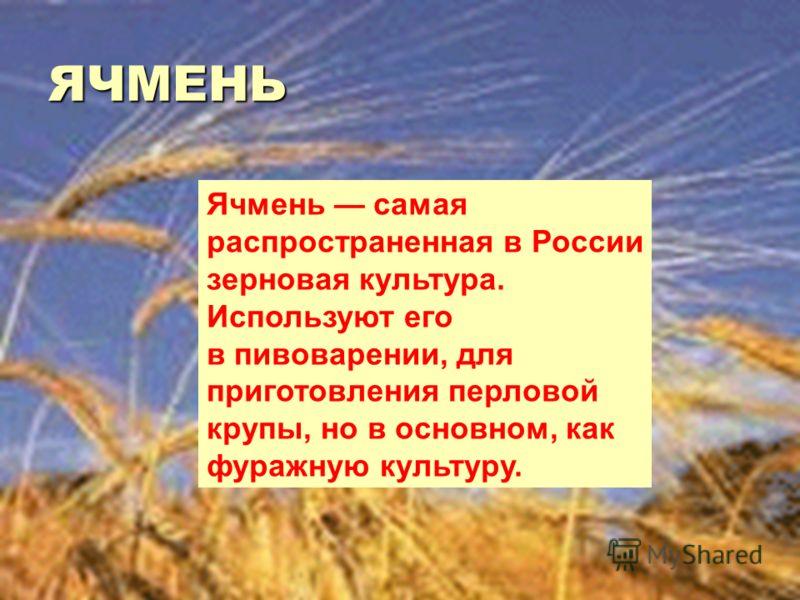 ЯЧМЕНЬ Ячмень самая распространенная в России зерновая культура. Используют его в пивоварении, для приготовления перловой крупы, но в основном, как фуражную культуру.
