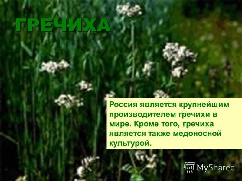 ГРЕЧИХА Россия является крупнейшим производителем гречихи в мире. Кроме того, гречиха является также медоносной культурой.