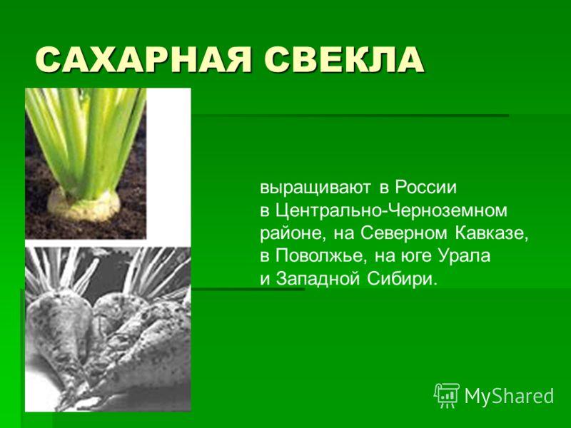 САХАРНАЯ СВЕКЛА выращивают в России в Центрально-Черноземном районе, на Северном Кавказе, в Поволжье, на юге Урала и Западной Сибири.