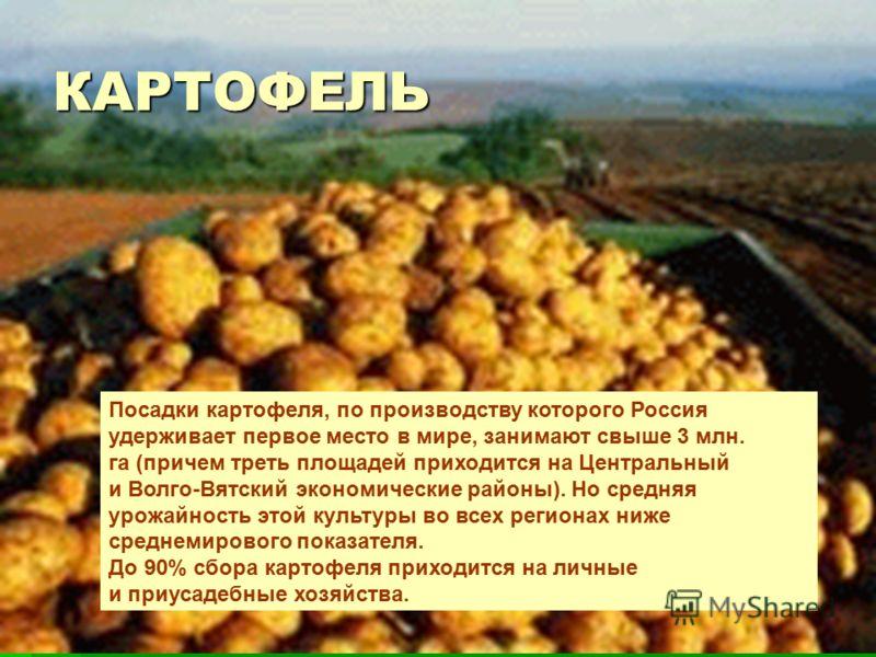 КАРТОФЕЛЬ Посадки картофеля, по производству которого Россия удерживает первое место в мире, занимают свыше 3 млн. га (причем треть площадей приходится на Центральный и Волго-Вятский экономические районы). Но средняя урожайность этой культуры во всех