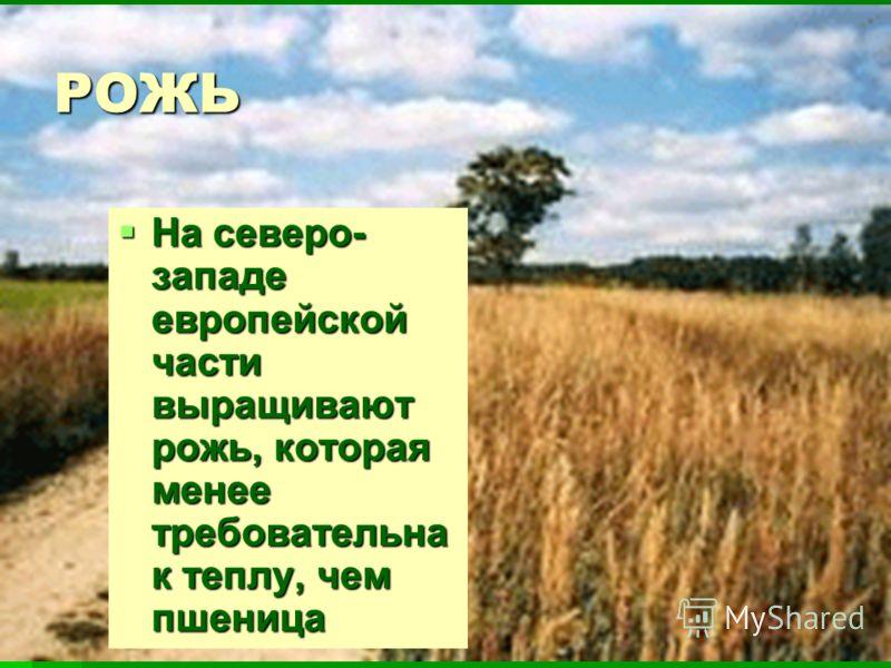 РОЖЬ На северо- западе европейской части выращивают рожь, которая менее требовательна к теплу, чем пшеница На северо- западе европейской части выращивают рожь, которая менее требовательна к теплу, чем пшеница