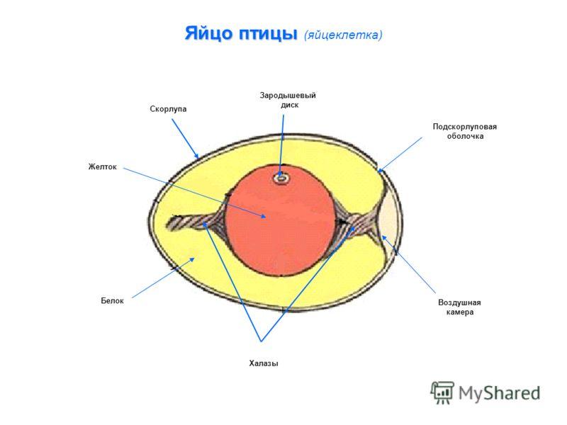 Яйцо птицы Яйцо птицы (яйцеклетка) Зародышевый диск Подскорлуповая оболочка Воздушная камера Халазы Белок Желток Скорлупа