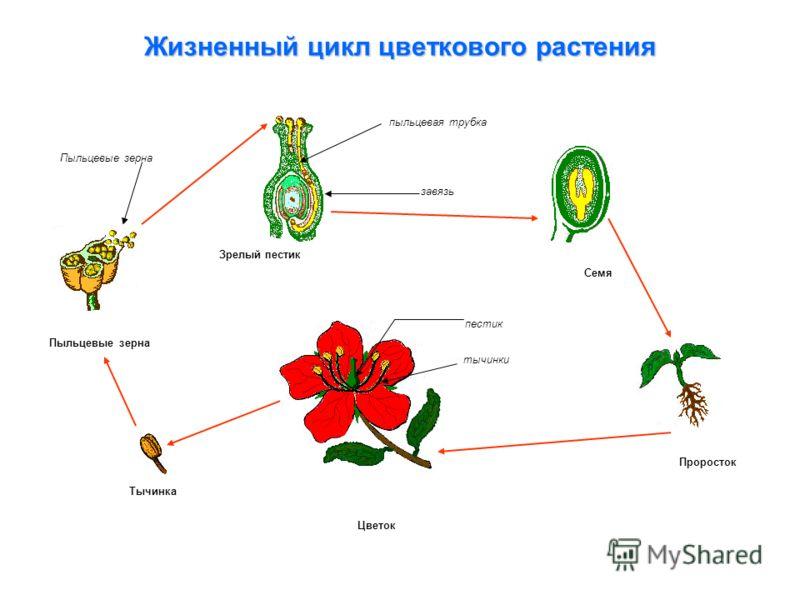Жизненный цикл цветкового растения Проросток Семя Тычинка Цветок Пыльцевые зерна Зрелый пестик пыльцевая трубка завязь пестик тычинки Пыльцевые зерна