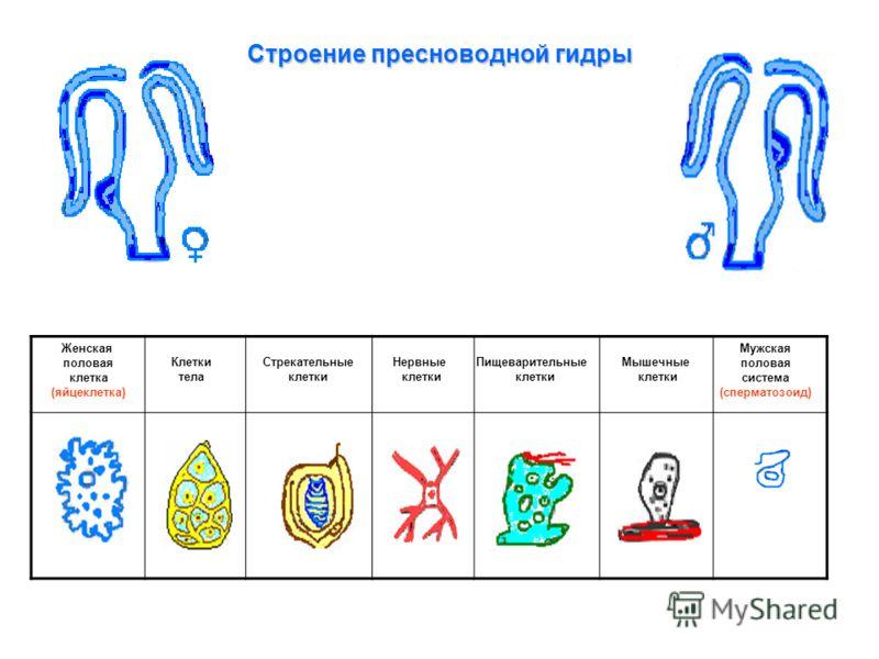 Строение пресноводной гидры Клетки тела Стрекательные клетки Нервные клетки Пищеварительные клетки Мышечные клетки Женская половая клетка (яйцеклетка) Мужская половая система (сперматозоид)