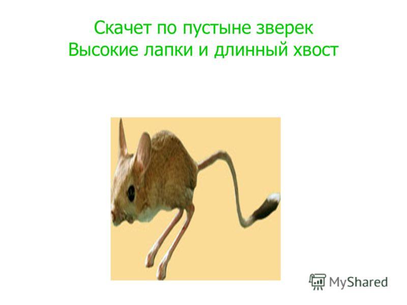 Скачет по пустыне зверек Высокие лапки и длинный хвост