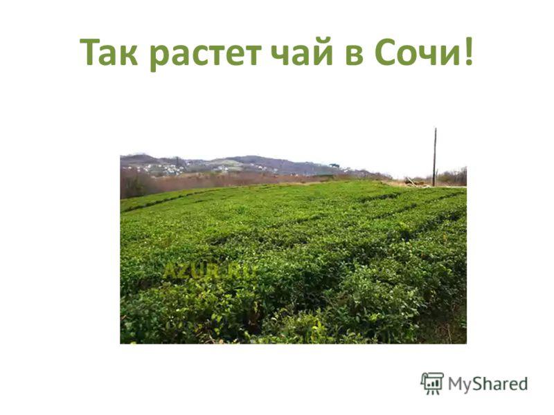 Так растет чай в Сочи!