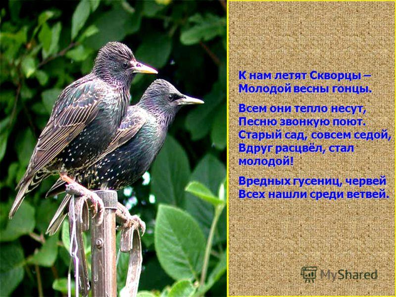 К нам летят Скворцы – Молодой весны гонцы. Всем они тепло несут, Песню звонкую поют. Старый сад, совсем седой, Вдруг расцвёл, стал молодой! Вредных гусениц, червей Всех нашли среди ветвей.