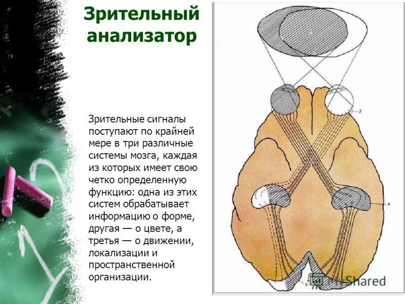 Зрительный анализатор Зрительные сигналы поступают по крайней мере в три различные системы мозга, каждая из которых имеет свою четко определенную функцию: одна из этих систем обрабатывает информацию о форме, другая о цвете, а третья о движении, локал