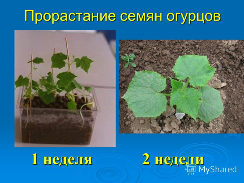 Прорастание семян огурцов 1 неделя 2 недели