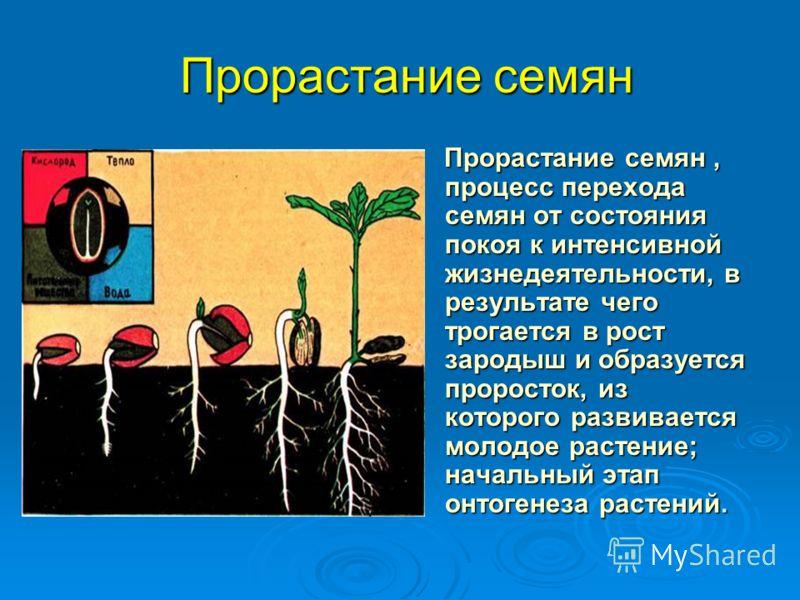 Прорастание семян Прорастание семян, процесс перехода семян от состояния покоя к интенсивной жизнедеятельности, в результате чего трогается в рост зародыш и образуется проросток, из которого развивается молодое растение; начальный этап онтогенеза рас