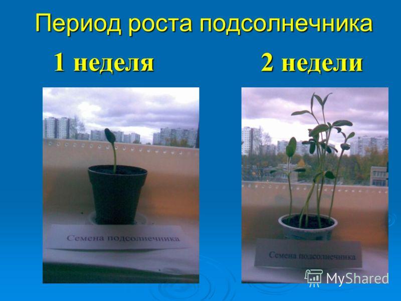 Период роста подсолнечника 2 недели 1 неделя