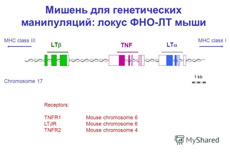 Мишень для генетических манипуляций: локус ФНО-ЛТ мыши LT TNF 1 kb Receptors: TNFR1Mouse chromosome 6 LT RMouse chromosome 6 TNFR2Mouse chromosome 4 Chromosome 17 MHC class IIIMHC class I