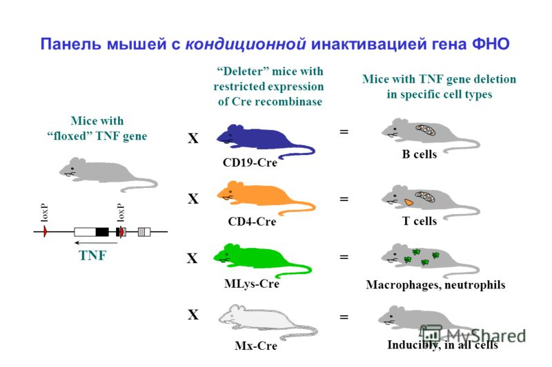 Панель мышей с кондиционной инактивацией гена ФНО Mice with floxed TNF gene loxP X Mice with TNF gene deletion in specific cell types X = T cells Deleter mice with restricted expression of Cre recombinase CD4-Cre = B cells X CD19-Cre Mx-Cre = MLys-Cr