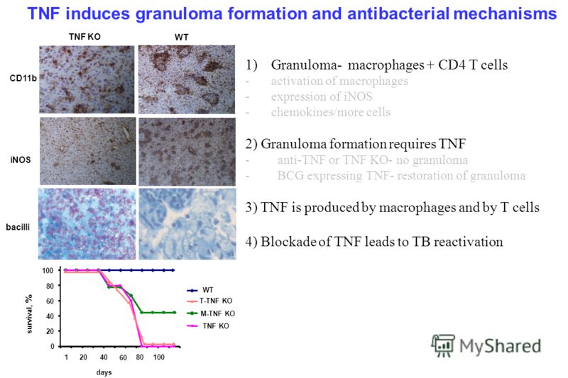 TNF KO WT CD11b iNOS bacilli TNF induces granuloma formation and antibacterial mechanisms 1)Granuloma- macrophages + CD4 T cells -activation of macrophages -expression of iNOS -chemokines/more cells 2) Granuloma formation requires TNF - anti-TNF or T