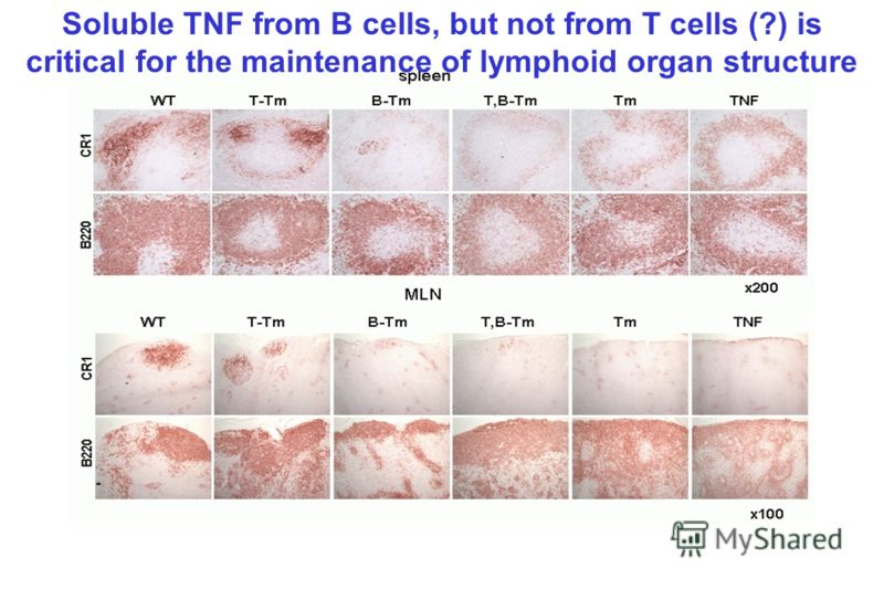 Soluble TNF from B cells, but not from T cells (?) is critical for the maintenance of lymphoid organ structure