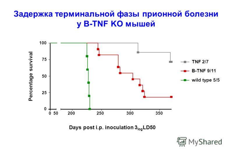 100 75 50 25 0 050200250300350 Days post i.p. inoculation 3 log LD50 Percentage survival B-TNF 9/11 TNF 2/7 wild type 5/5 Задержка терминальной фазы прионной болезни у B-TNF KO мышей