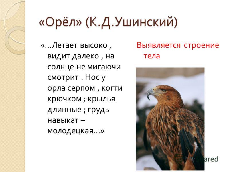 « Орёл » ( К. Д. Ушинский ) «… Летает высоко, видит далеко, на солнце не мигаючи смотрит. Нос у орла серпом, когти крючком ; крылья длинные ; грудь навыкат – молодецкая …» Выявляется строение тела