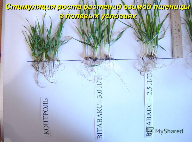Стимуляция роста растений озимой пшеницы в полевых условиях Стимуляция роста растений озимой пшеницы в полевых условиях