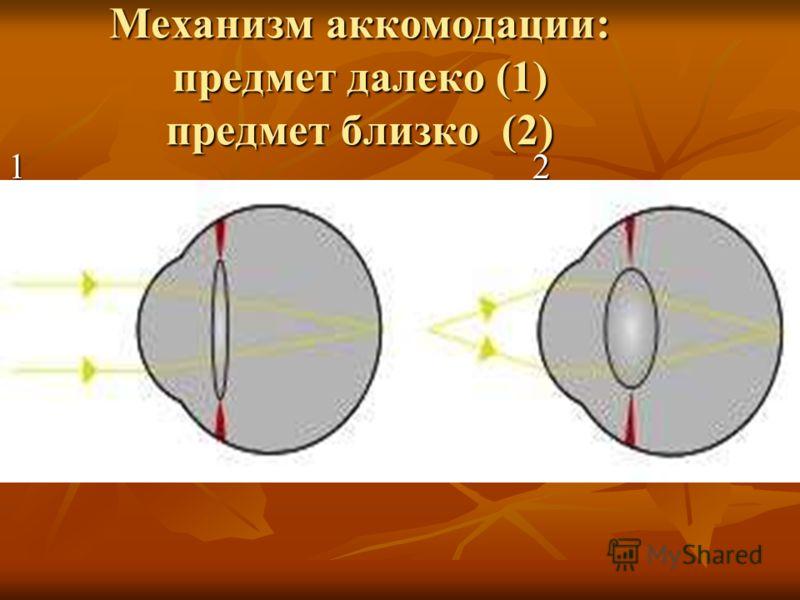 Механизм аккомодации: предмет далеко (1) предмет близко (2) 1 2