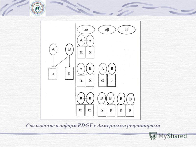 Фактор роста из тромбоцитов (PDGF) Образование трех изоформ димерной молекулы PDGF