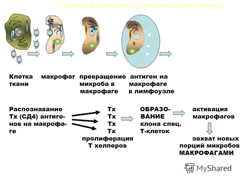 Макроцит