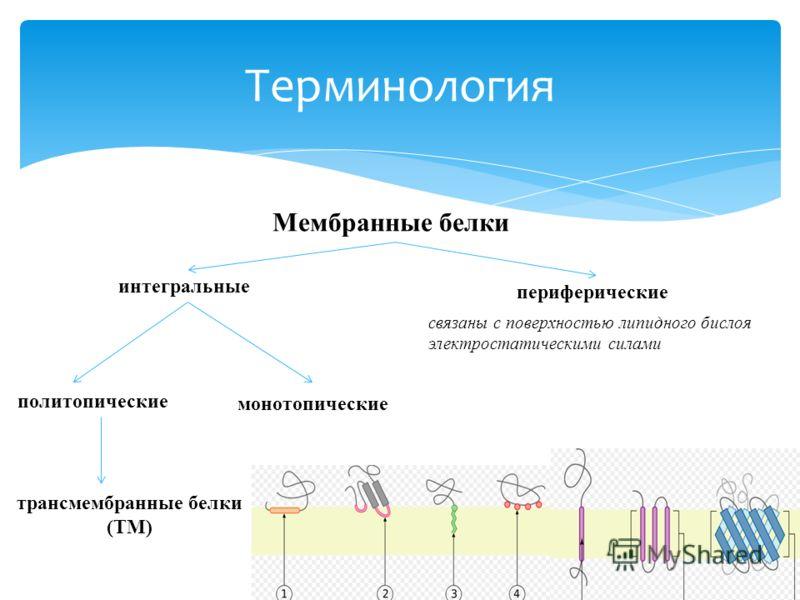 Терминология связаны с поверхностью липидного бислоя электростатическими силами Мембранные белки интегральные периферические политопические монотопические трансмембранные белки (TM)