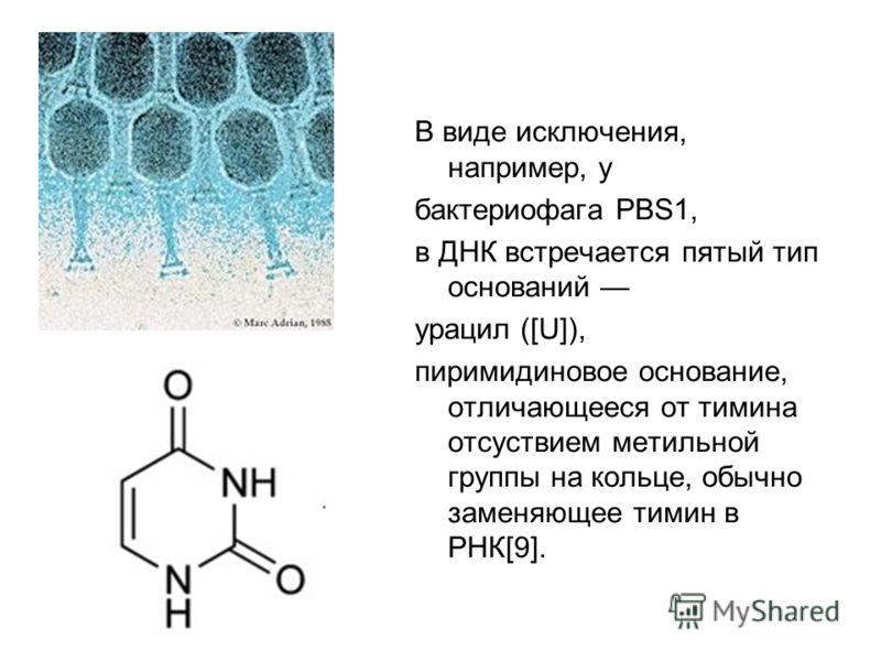 В виде исключения, например, у бактериофага PBS1, в ДНК встречается пятый тип оснований урацил ([U]), пиримидиновое основание, отличающееся от тимина отсуствием метильной группы на кольце, обычно заменяющее тимин в РНК[9].