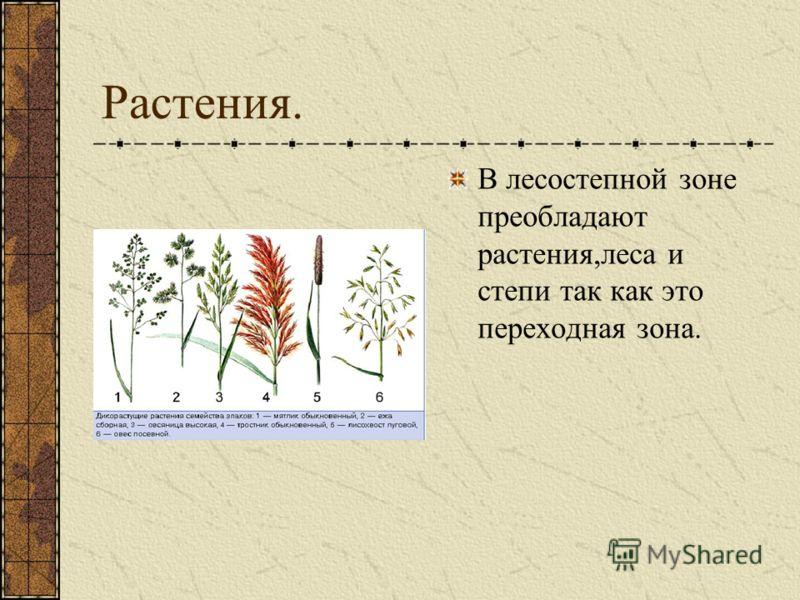 Растения. В лесостепной зоне преобладают растения,леса и степи так как это переходная зона.