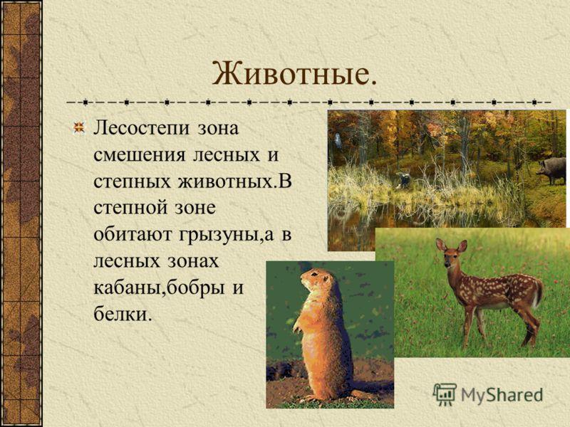Животные. Лесостепи зона смешения лесных и степных животных.В степной зоне обитают грызуны,а в лесных зонах кабаны,бобры и белки.