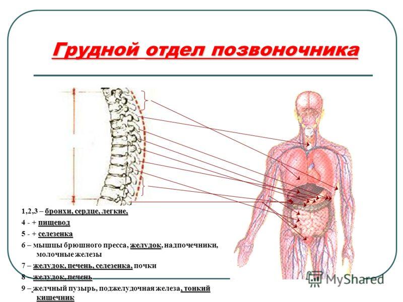 Груднойотдел позвоночника Грудной отдел позвоночника бронхи, сердце, легкие, 1,2,3 – бронхи, сердце, легкие, пищевод 4 - + пищевод селезенка 5 - + селезенка желудок 6 – мышцы брюшного пресса, желудок, надпочечники, молочные железы желудок, печень, се