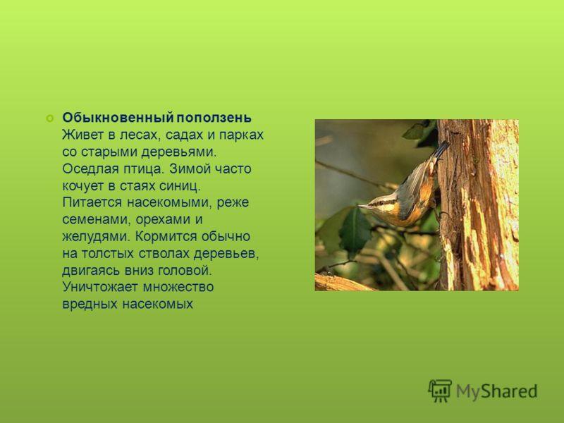 Обыкновенный поползень Живет в лесах, садах и парках со старыми деревьями. Оседлая птица. Зимой часто кочует в стаях синиц. Питается насекомыми, реже семенами, орехами и желудями. Кормится обычно на толстых стволах деревьев, двигаясь вниз головой. Ун