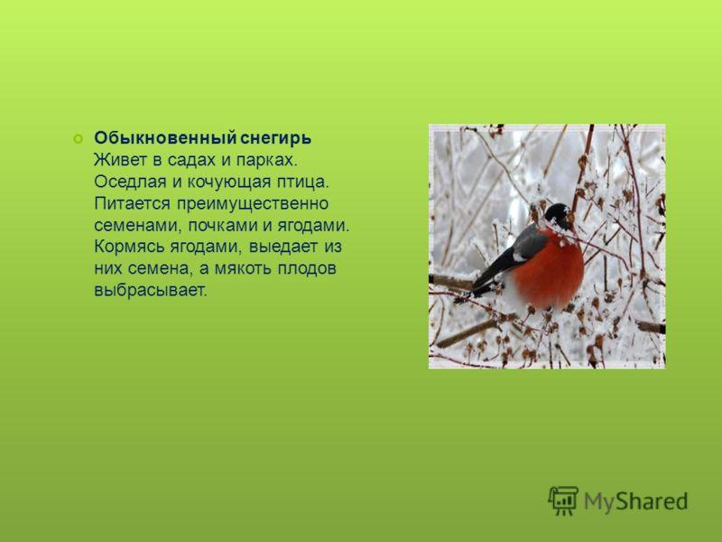 Обыкновенный снегирь Живет в садах и парках. Оседлая и кочующая птица. Питается преимущественно семенами, почками и ягодами. Кормясь ягодами, выедает из них семена, а мякоть плодов выбрасывает.