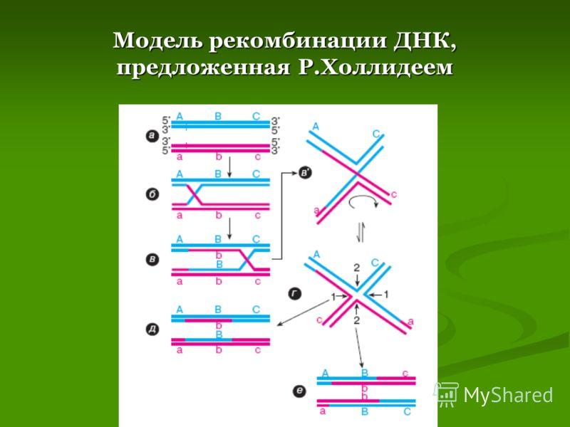 Модель рекомбинации ДНК, предложенная Р.Холлидеем