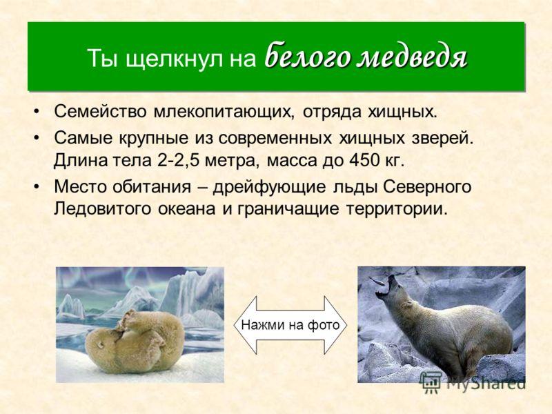 Белый медведь Семейство млекопитающих, отряда хищных. Самые крупные из современных хищных зверей. Длина тела 2-2,5 метра, масса до 450 кг. Место обитания – дрейфующие льды Северного Ледовитого океана и граничащие территории. белого медведя Ты щелкнул