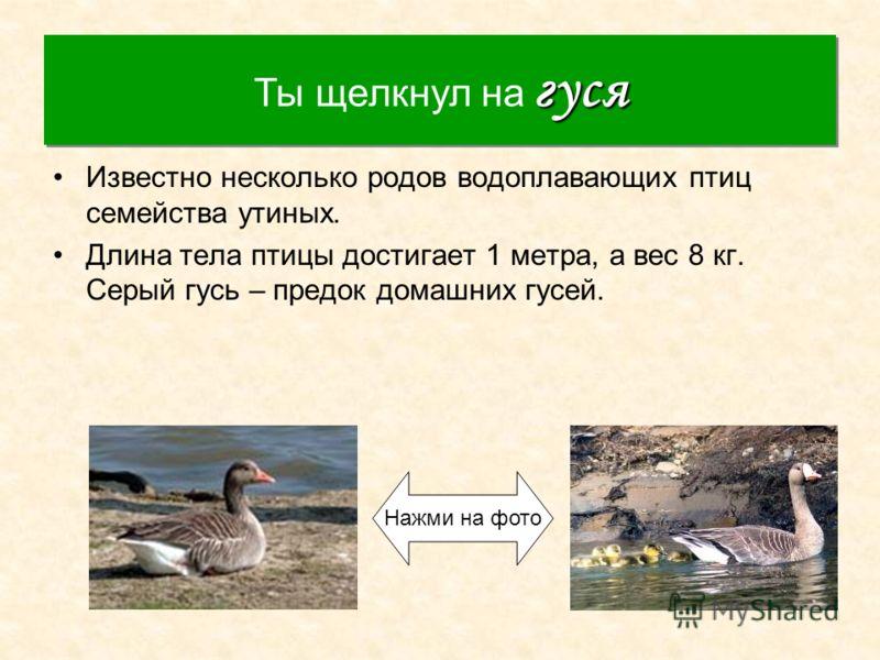 Гусь Известно несколько родов водоплавающих птиц семейства утиных. Длина тела птицы достигает 1 метра, а вес 8 кг. Серый гусь – предок домашних гусей. гуся Ты щелкнул на гуся Нажми на фото