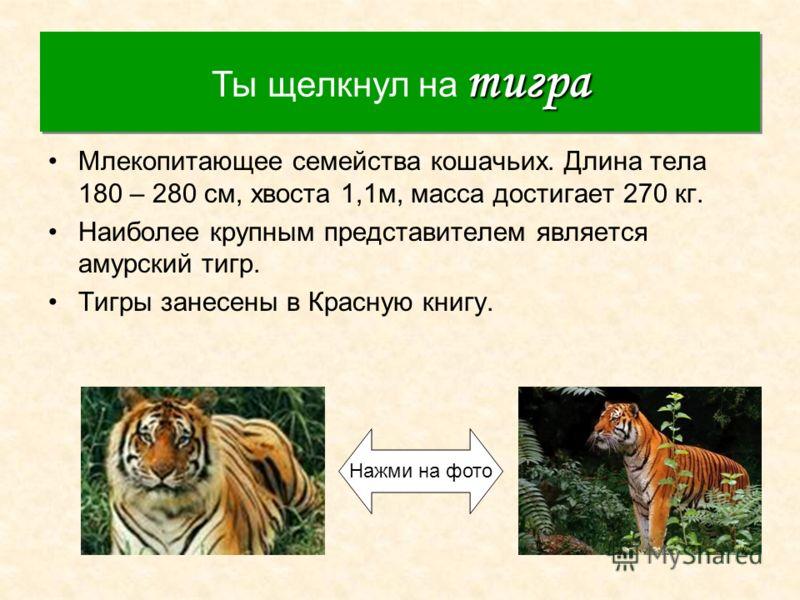 Тигр Млекопитающее семейства кошачьих. Длина тела 180 – 280 см, хвоста 1,1м, масса достигает 270 кг. Наиболее крупным представителем является амурский тигр. Тигры занесены в Красную книгу. тигра Ты щелкнул на тигра Нажми на фото
