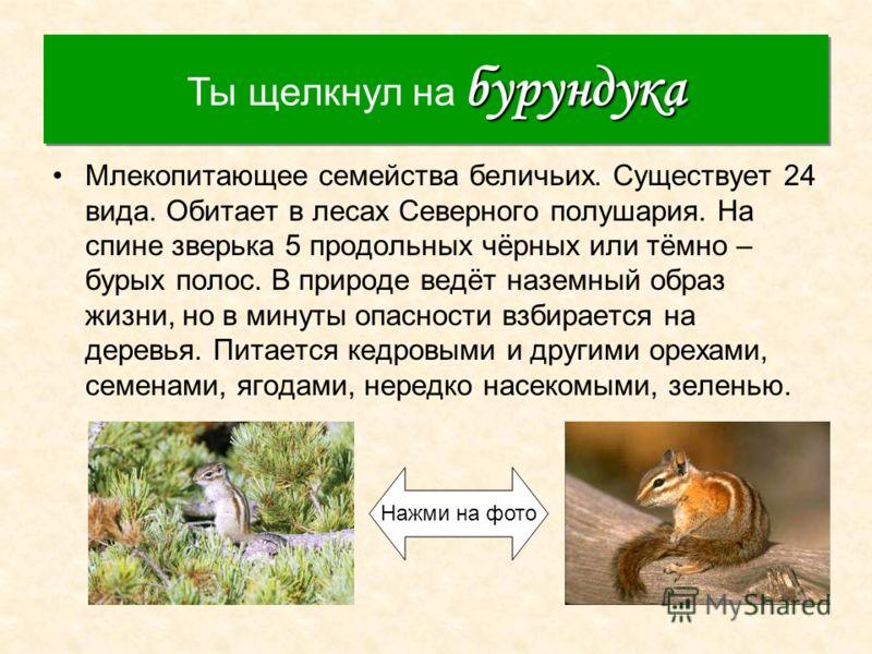 Бурундук Млекопитающее семейства беличьих. Существует 24 вида. Обитает в лесах Северного полушария. На спине зверька 5 продольных чёрных или тёмно – бурых полос. В природе ведёт наземный образ жизни, но в минуты опасности взбирается на деревья. Питае