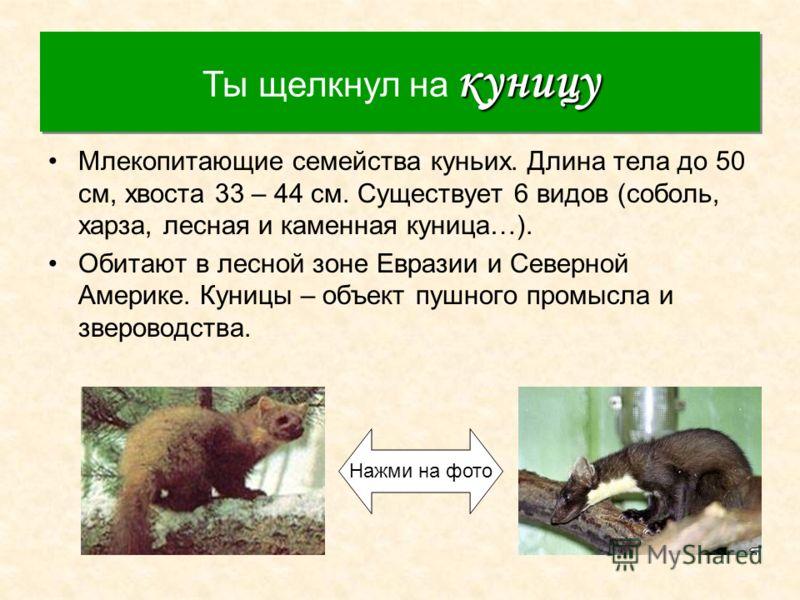 Куница Млекопитающие семейства куньих. Длина тела до 50 см, хвоста 33 – 44 см. Существует 6 видов (соболь, харза, лесная и каменная куница…). Обитают в лесной зоне Евразии и Северной Америке. Куницы – объект пушного промысла и звероводства. куницу Ты