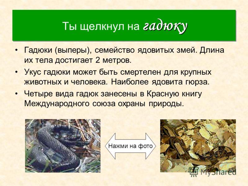 гадюку Ты щелкнул на гадюку Гадюки (выперы), семейство ядовитых змей. Длина их тела достигает 2 метров. Укус гадюки может быть смертелен для крупных животных и человека. Наиболее ядовита гюрза. Четыре вида гадюк занесены в Красную книгу Международног
