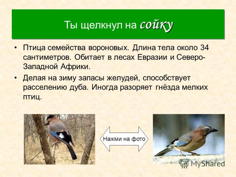 Сойка Птица семейства вороновых. Длина тела около 34 сантиметров. Обитает в лесах Евразии и Северо- Западной Африки. Делая на зиму запасы желудей, способствует расселению дуба. Иногда разоряет гнёзда мелких птиц. сойку Ты щелкнул на сойку Нажми на фо
